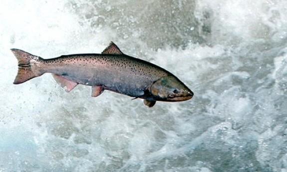 pin adult ocean salmon - photo #47
